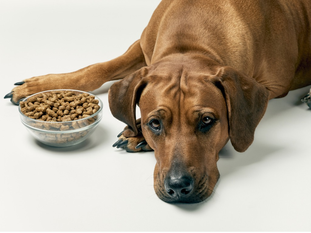 dog not eating kibble