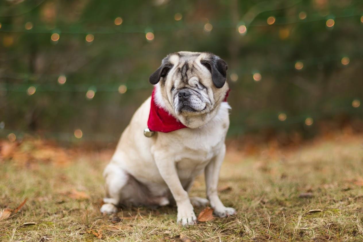 Tyson's Story: Stabilizing the Health of a Diabetic Senior Pug