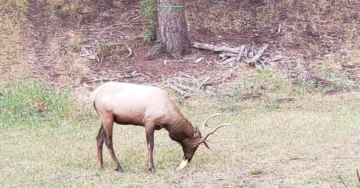 An elk with a disc golf disc in its mouth
