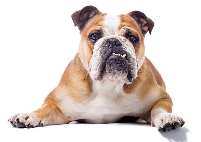 english-bulldog-skin-allergies.jpg