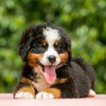bernese mountain dog pupppy