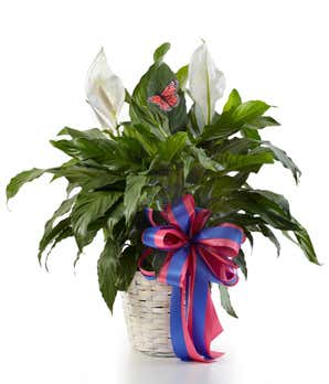 Keeping the Peace! Here's How to Care for Your Peace Lilies
