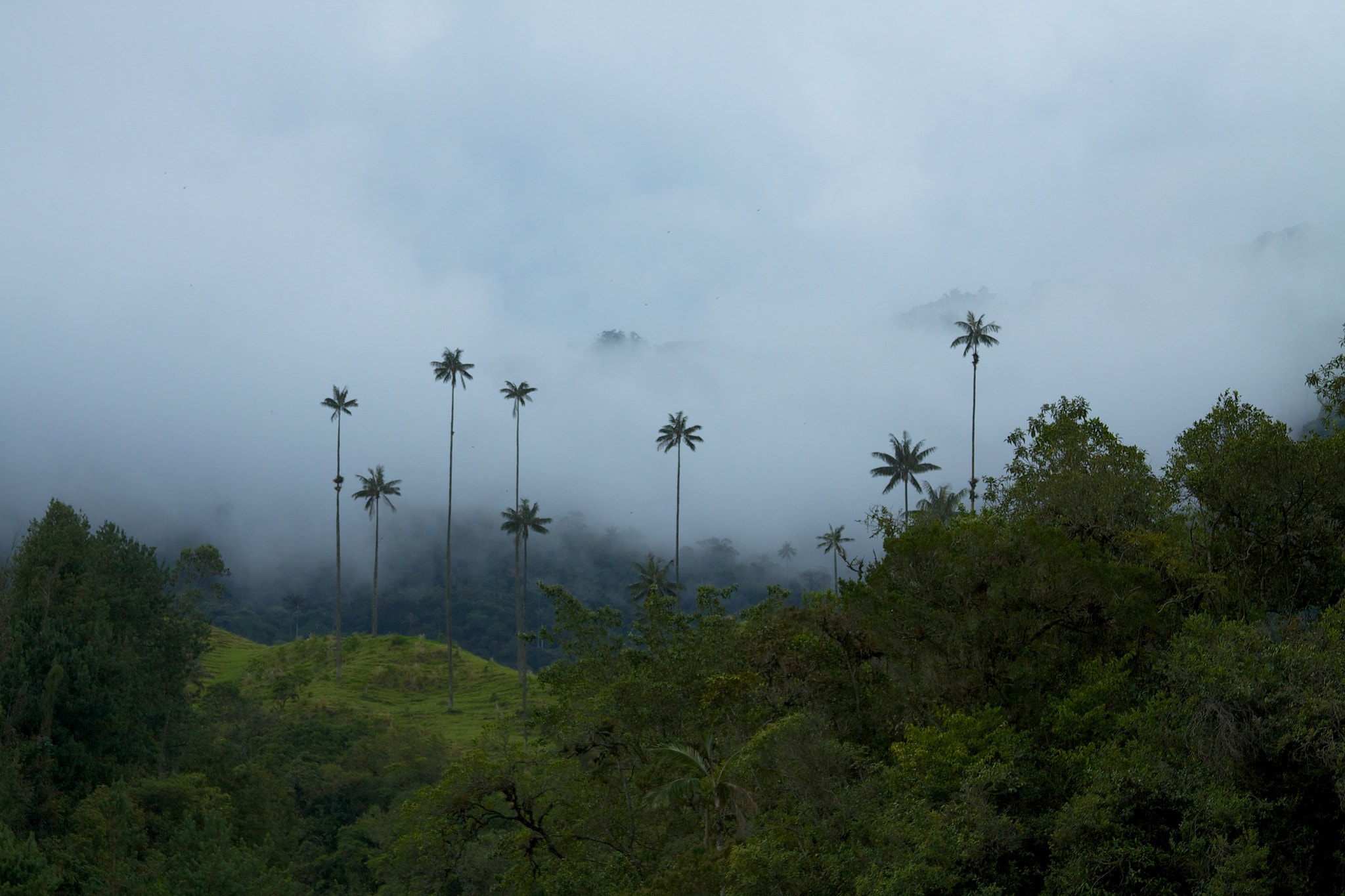 Cocora Valley wax palms Colombia