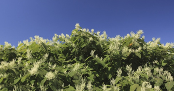 Japanese knotweed: how it can affect your property and your mortgage