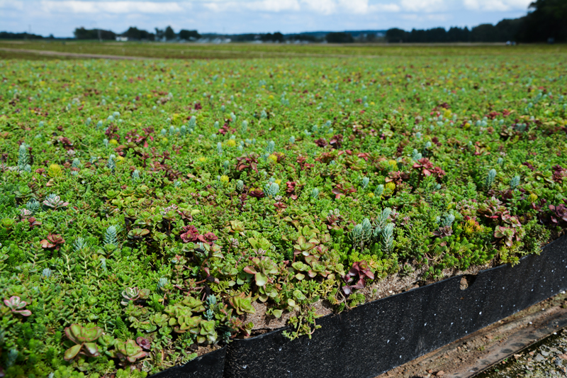 green roof plants healthy field