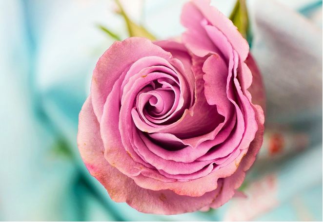 What Is The Meaning Of Pink Flowers?