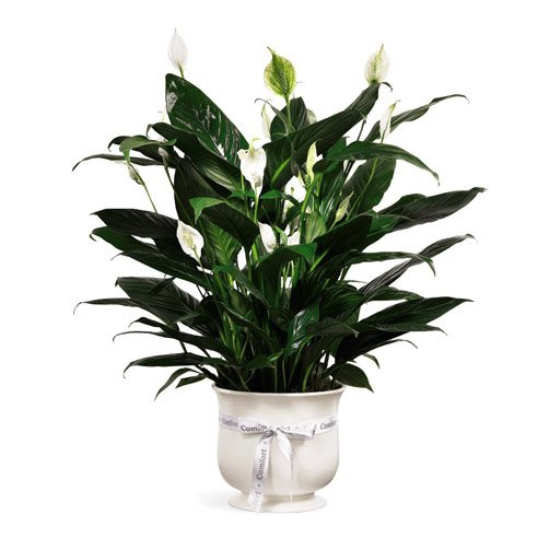 Pets for plant delivery calla lily plant gift