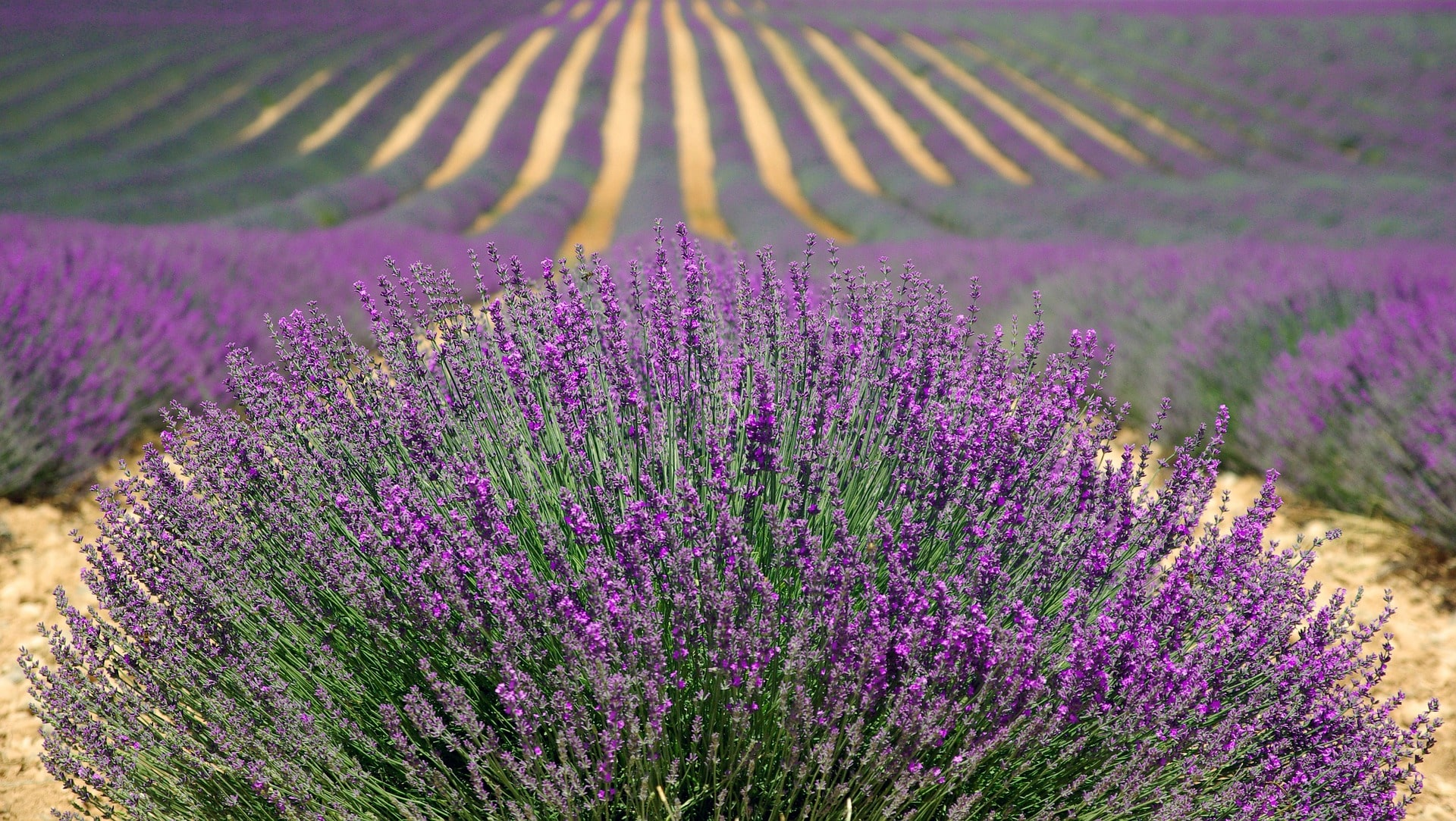 Exploring the lavender fields of Provence is a lovely thing to do in France