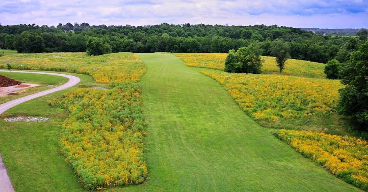 A well-mown fairway with sunflowers as rough