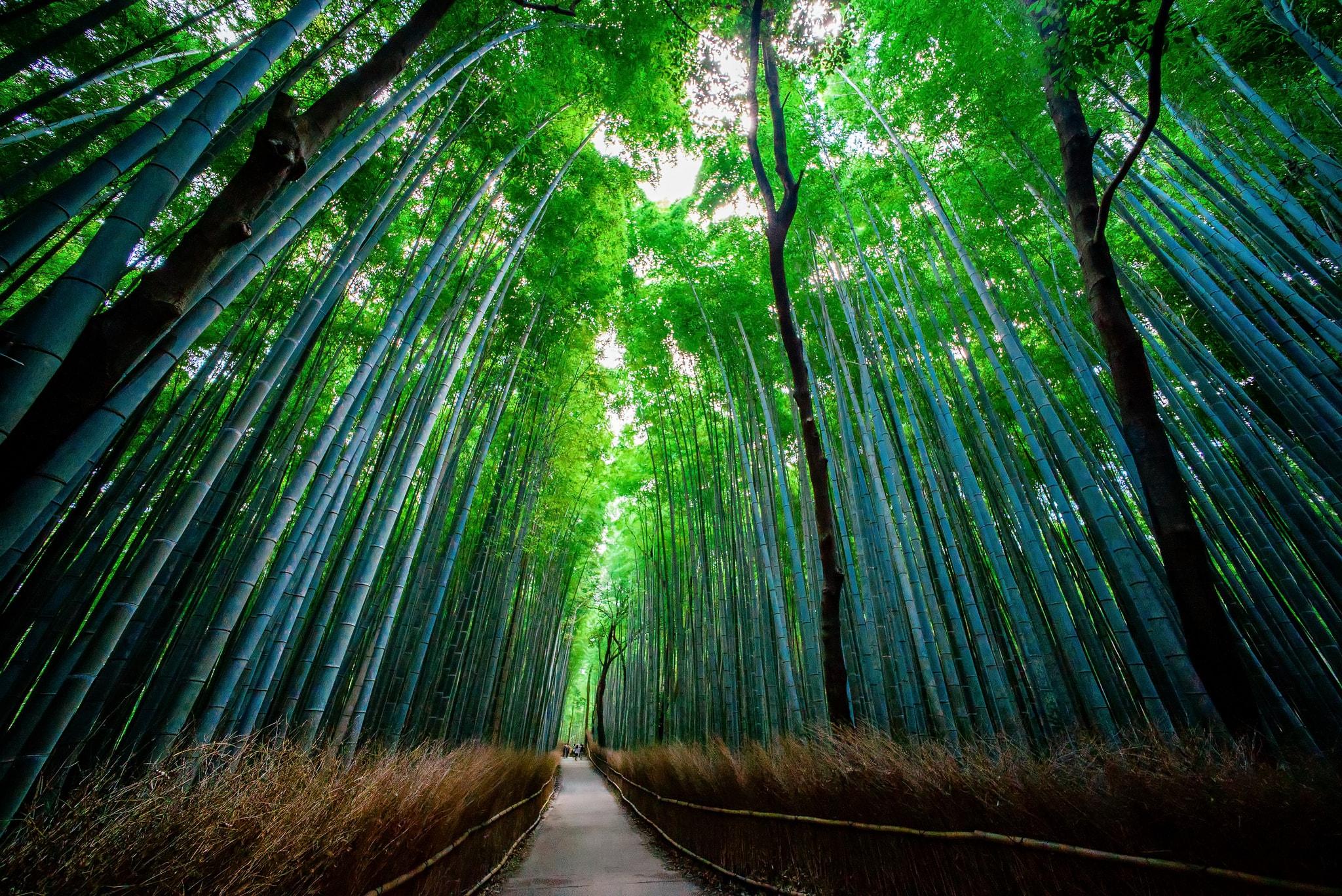 Sagano Bamboo Forest Kyoto Japan