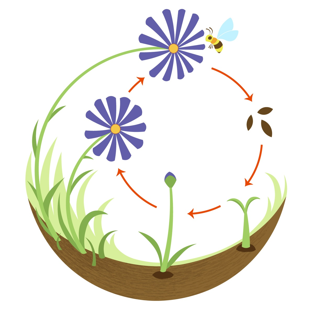 What is the life cycle of a flower?