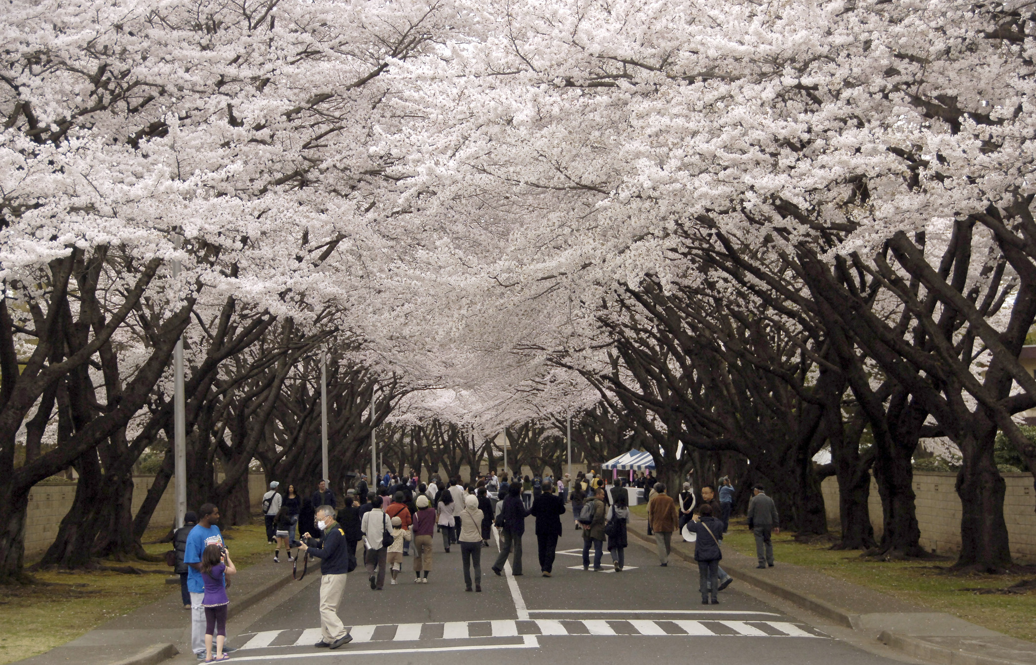 The Cherry Blossom Festival is one of the Things to do in Japan in April